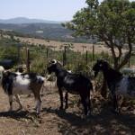 Cabras payoyas en Bolonia.