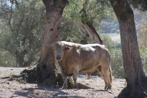 dehesa-ganadería-brava
