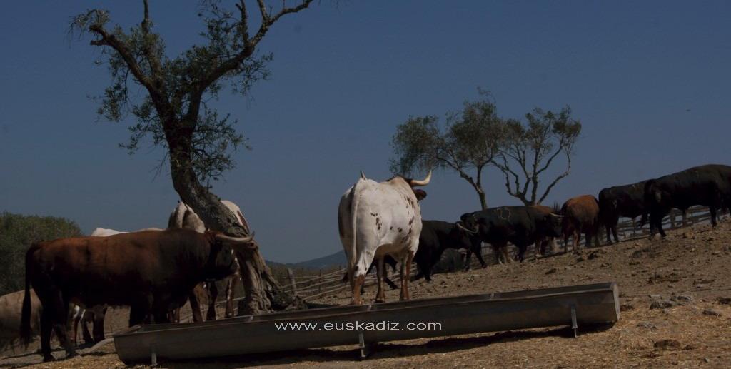 El toro en su habitat natural