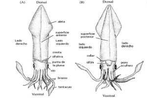 morfologia-txipiron-euskadiz